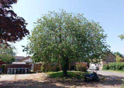 Cherry (Prunus Avium) reduction