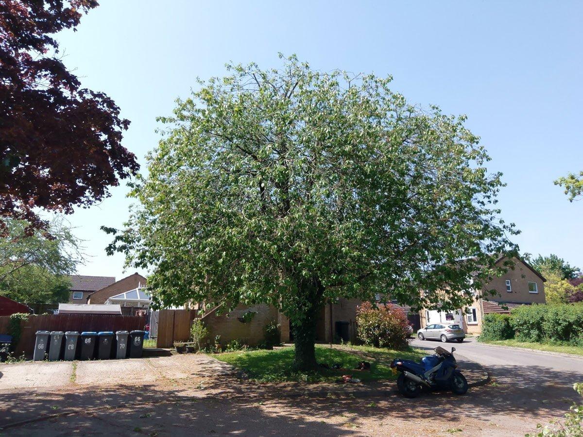 Cherry (Prunus Avium) reduction 1