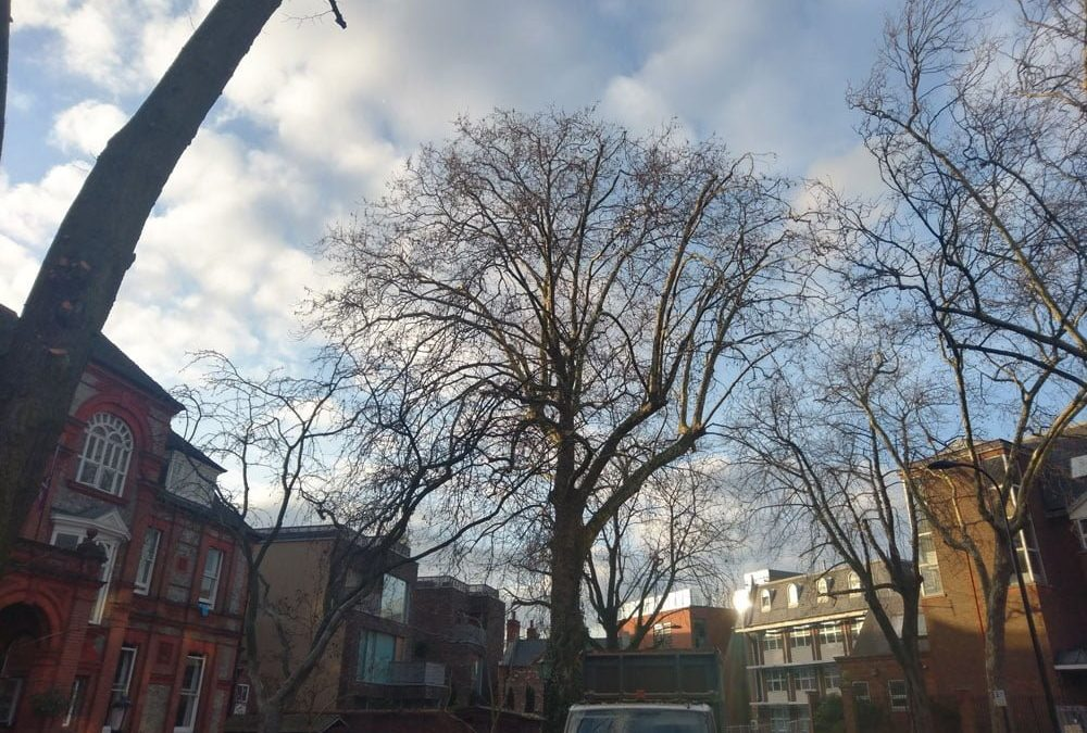 London Plane (Platanus x acerifolia) Reduction