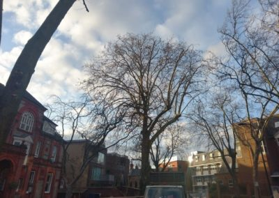 London Plane (Platanus x acerifolia) Reduction