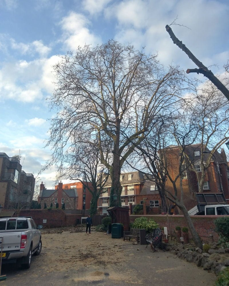 London Plane (Platanus x acerifolia) Reduction 1