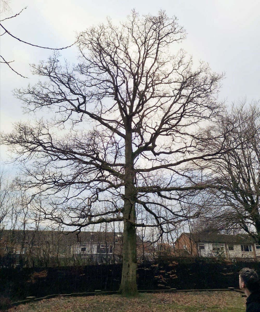 Turkey Oak (Quercus cerris) Reduction 1