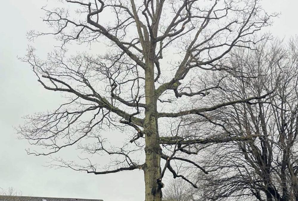 Turkey Oak (Quercus cerris) Reduction